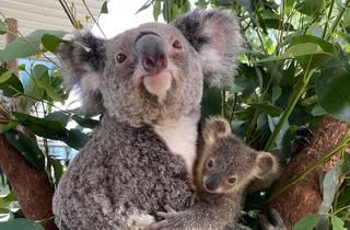 Iluka and baby koala at WIld Life Sydney Zoo