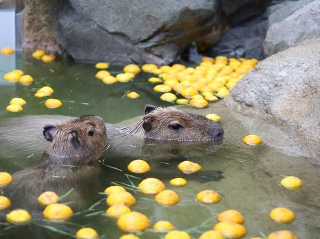 Capybara in onsen