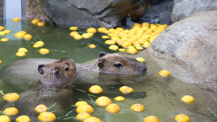 Capybara in onsen bath with yuzu