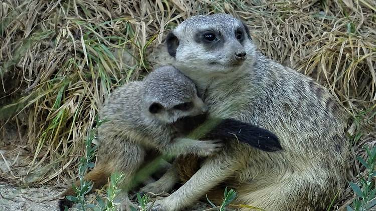 meerkat, zagreb, zoo, mother, baby, happy, mother's, day