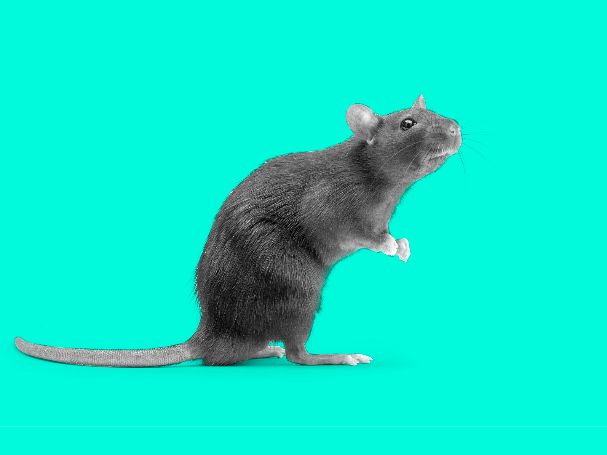 It's not just you: why rats are suddenly everywhere