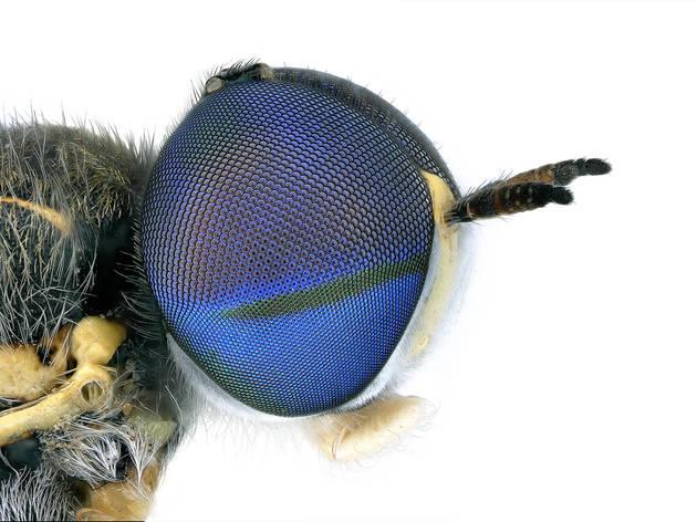 Soldier fly, Euparyphus cinctus