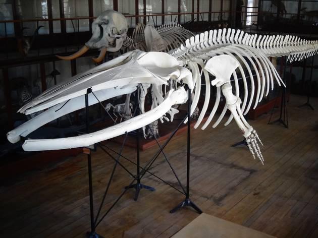 O esqueleto de baleia na Sala das Coleções Gerais do Museu de História Natural da Universidade do Porto (atualmente MHNC-UP), em 2015.