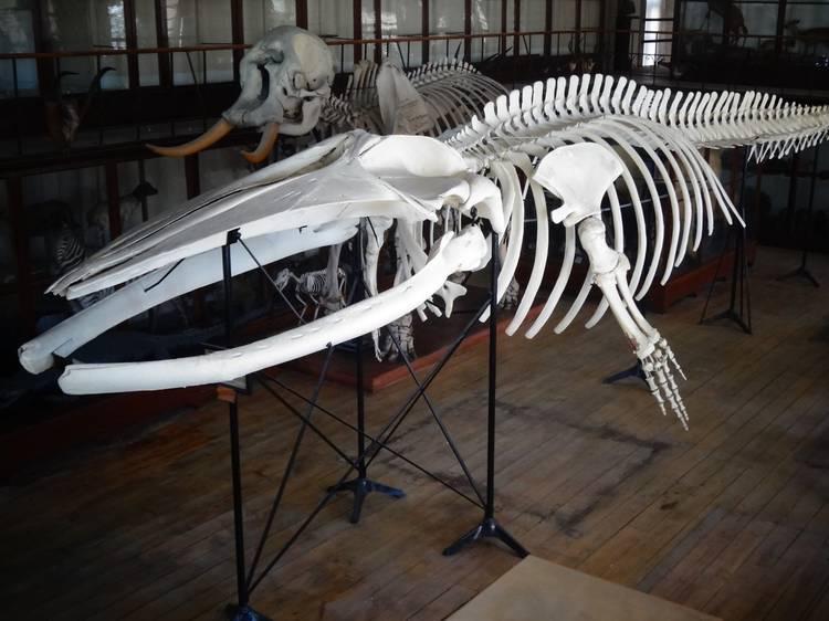 Saiba tudo sobre a enorme baleia que decora o átrio da Galeria da Biodiversidade