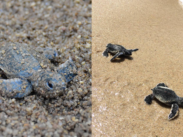 In pictures: Koh Samui witnessed green turtle hatchlings for the first time in six years