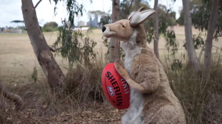 A kangaroo with a football