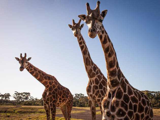 Melbourne Zoo, Werribee Zoo and Healesville Sanctuary to reopen October 29