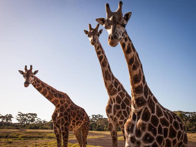 Werribee Open Range Zoo | Zoos Victoria