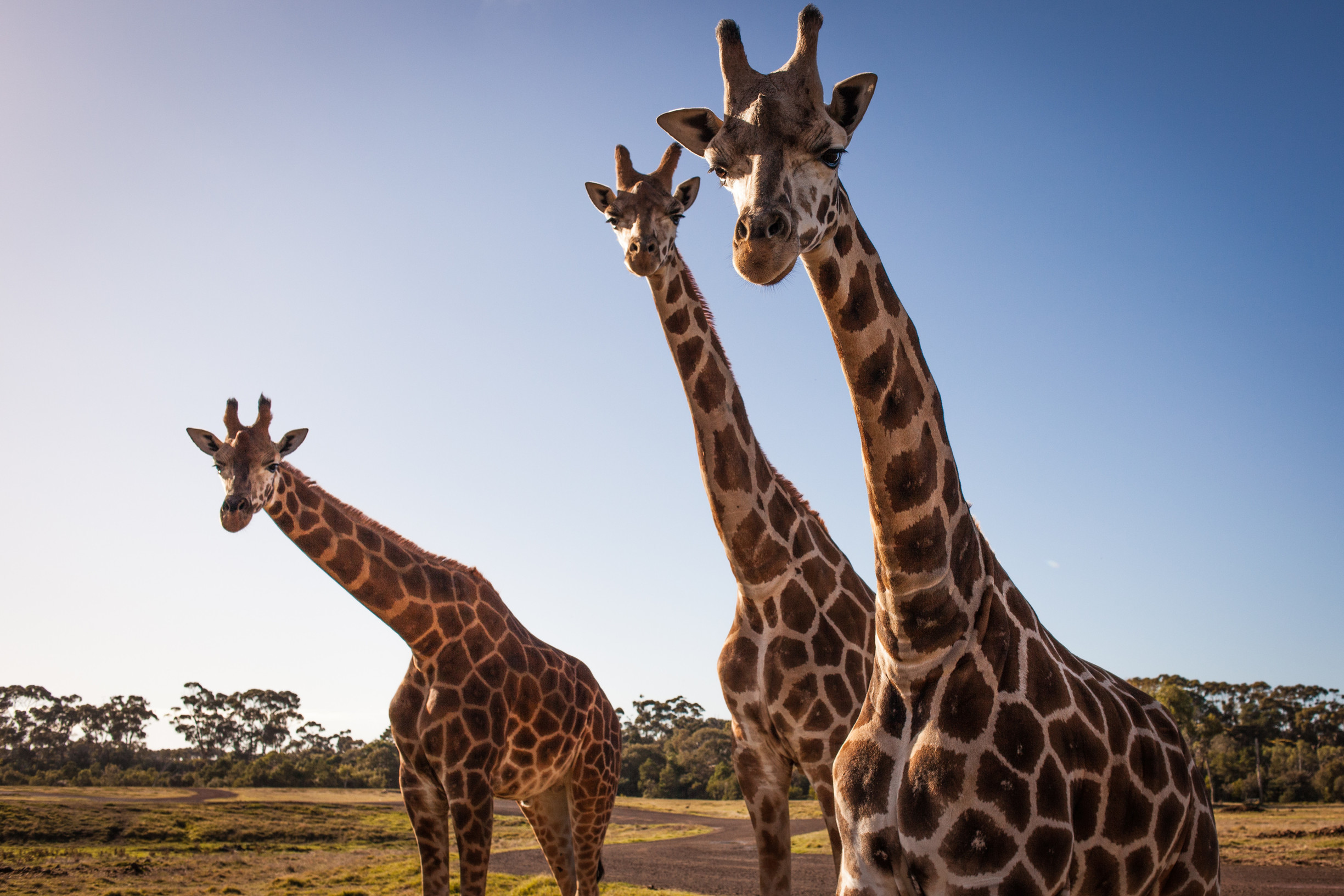 Melbourne Zoo, Werribee Zoo and Healesville Sanctuary will reopen on June 1