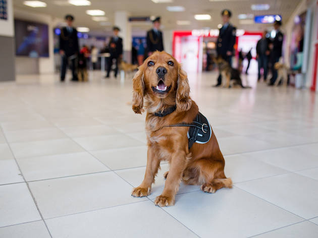 Sniffer dog at airport
