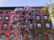 Wisteria on apartment building