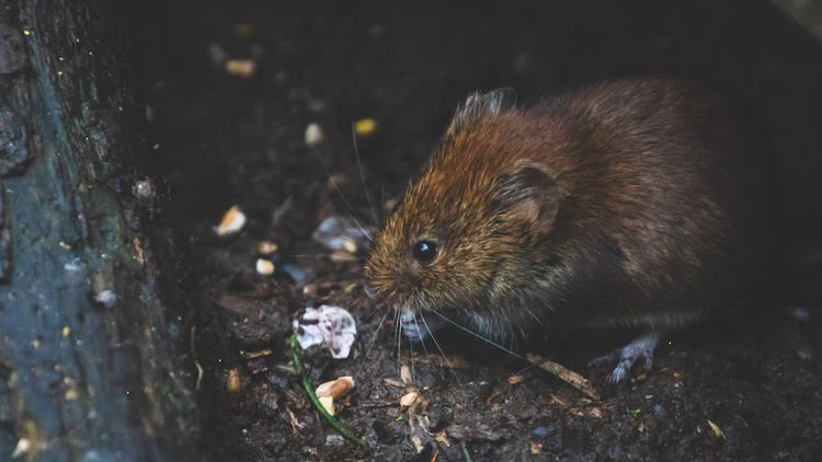 A city rat