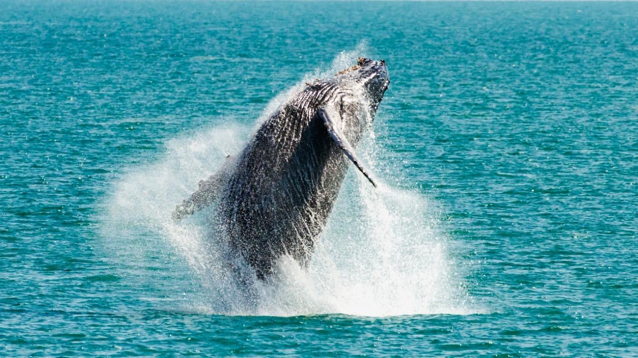 Humpback whale breaching Kiama