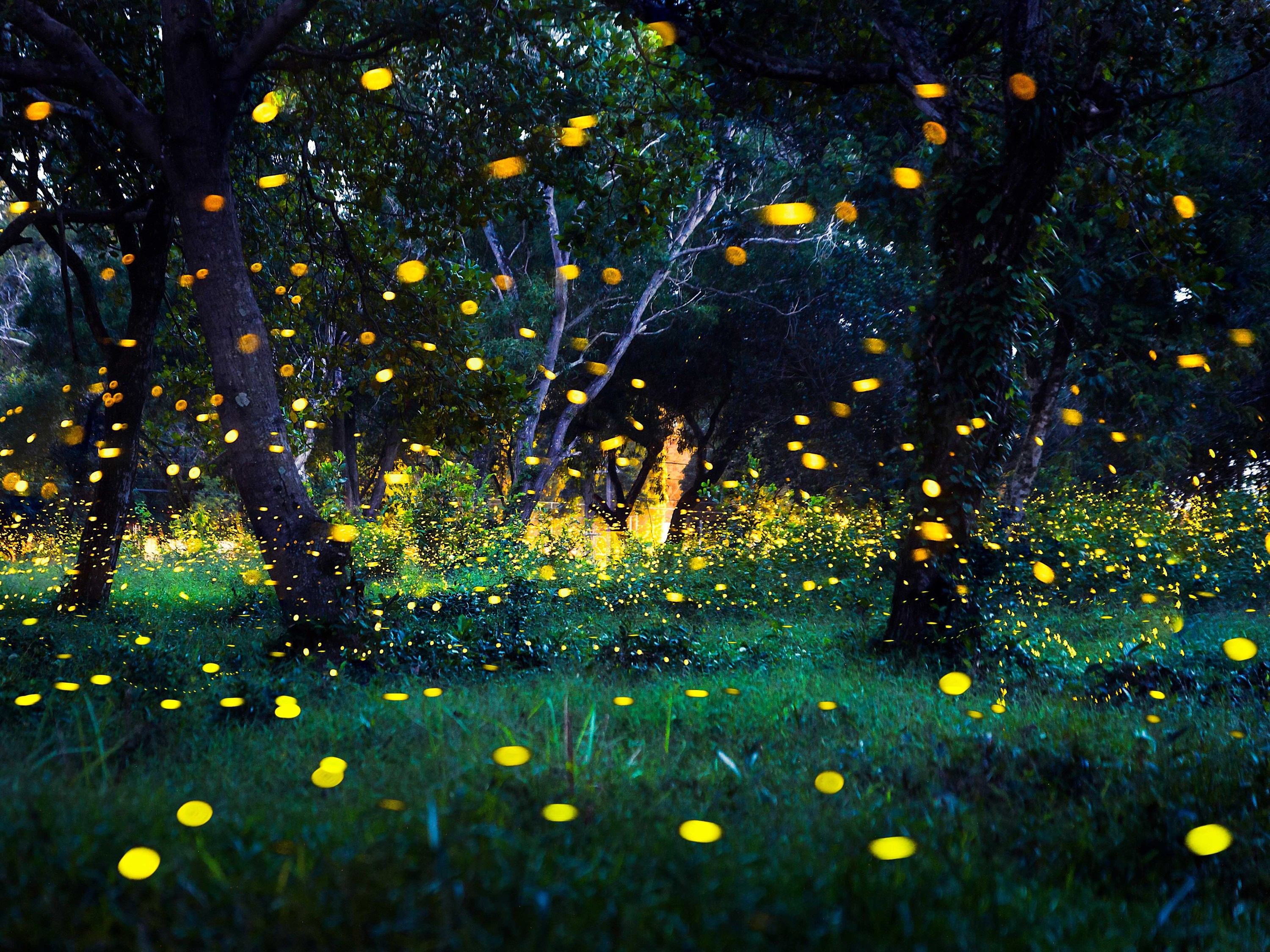 Watch the Great Smoky Mountains' famous fireflies online