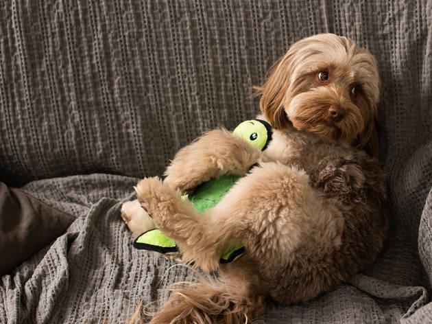PETstock Dog on lounge hugging turtle toy