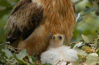 Águila calzada en la Sierra de Guadarrama
