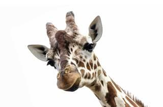 Zoo de Lisboa, Animal, Girafa