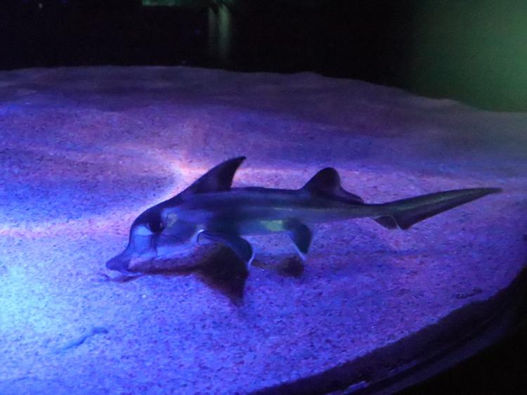 営業再開のサンシャイン水族館でゾウギンザメの赤ちゃんが一般公開