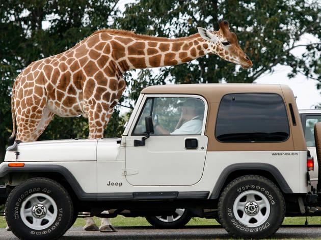 Six Flags Great Adventure's Safari