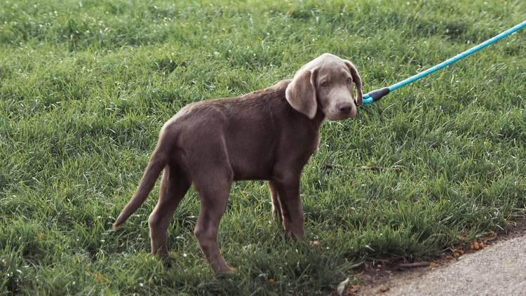 Dog on lead walking in grass