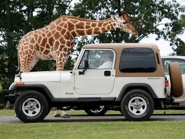 Drive-in safari at Six Flags