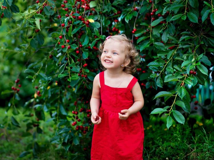 The best summertime cherry picking NY families love