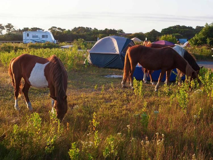 Maryland: Camping amongst horses on Assateague Island