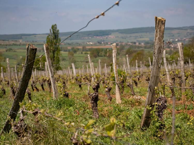 Suivre la carte des vins en partant sur les routes du Beaujolais