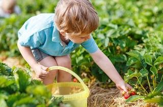 Strawberry picking pyo