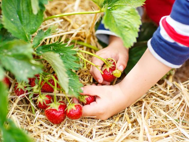 strawberry strawberris