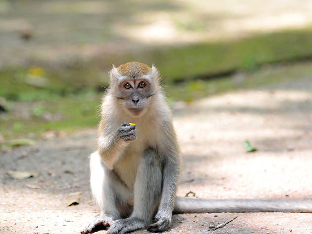 crab-eating macaque, bukit timah nature reserve