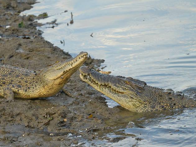 estuarine crocodiles, Sungei Buloh Wetland Reserve