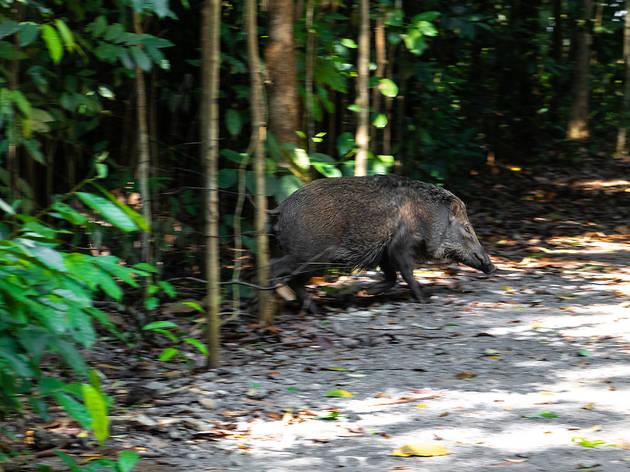 wild boar, pulau ubin