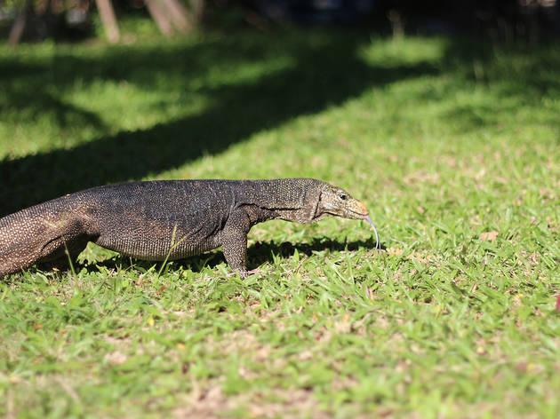monitor lizard, singapore botanic gardens