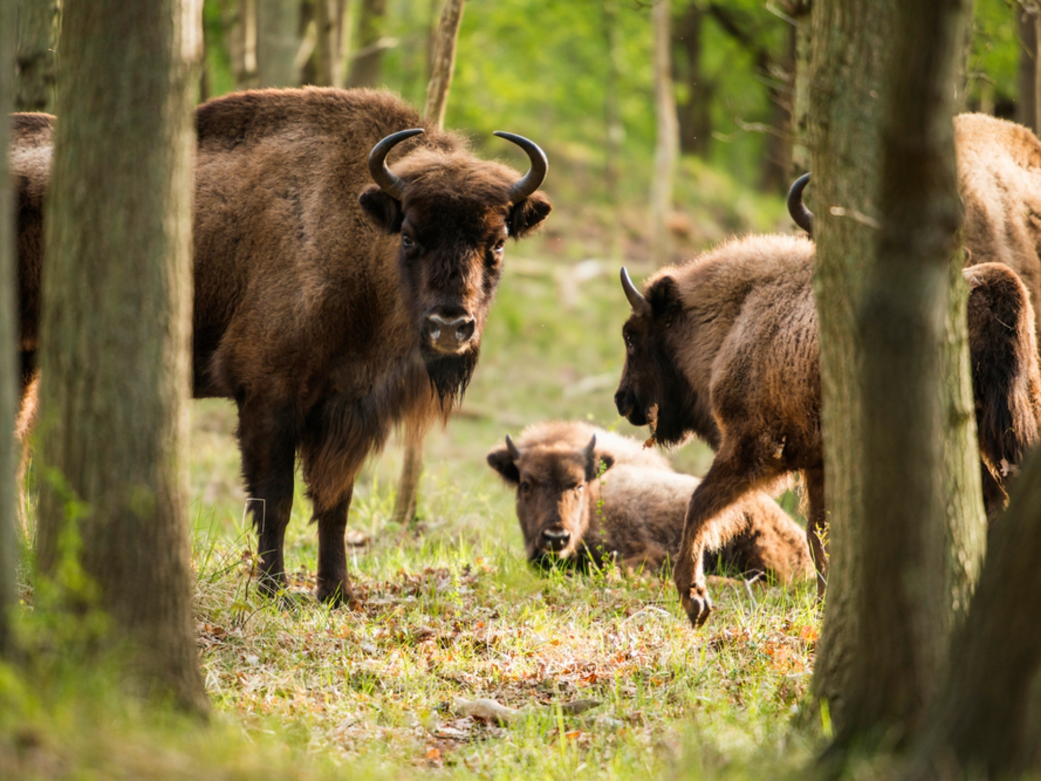 Wild bison are being reintroduced to the British countryside