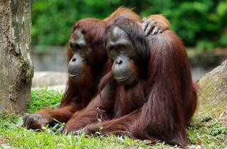 Orangutans, Singapore Zoo