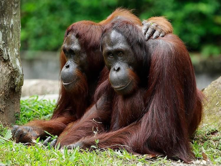 Observe the orangutans at Singapore Zoo