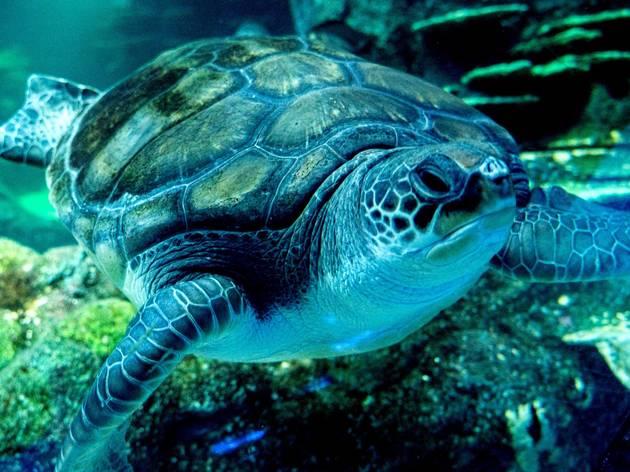 green sea turtle swims in tank