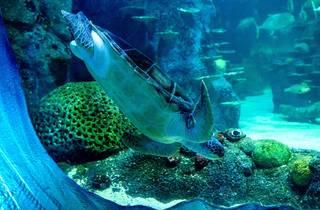 Plugga the Australian Green Sea Turtle