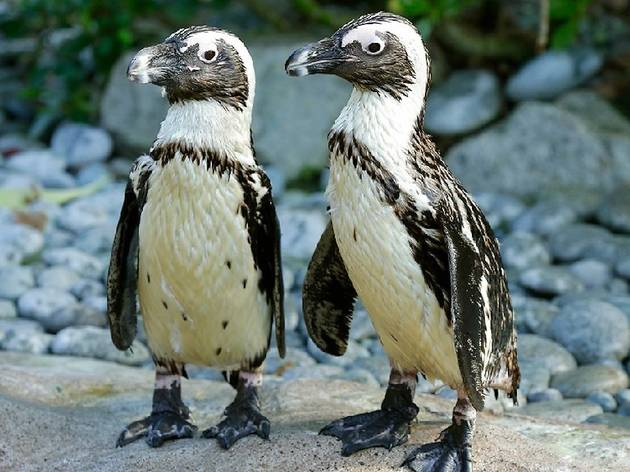 African penguins, Hello from the Wild Side