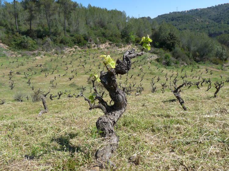 Hacer una cata de vinos del Vallès