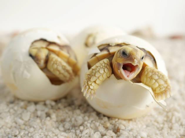 Es busquen voluntaris per cuidar ous de tortugues a la platja de Barcelona