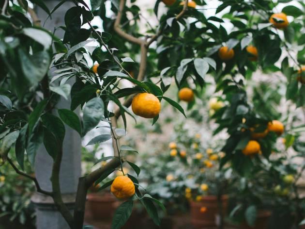 Orange trees in Miami