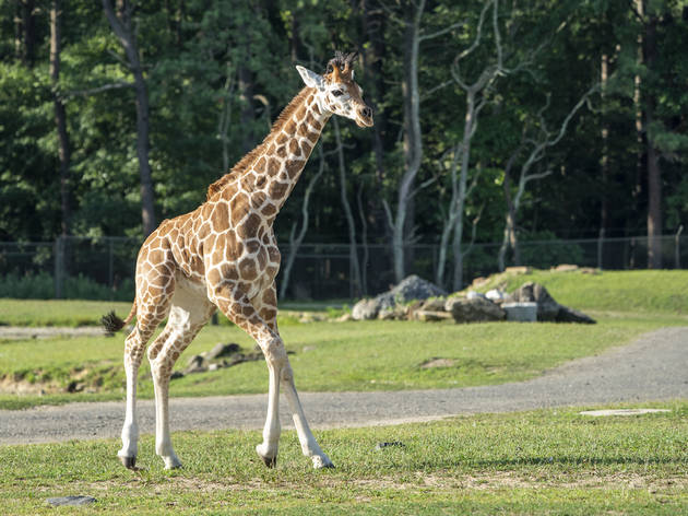 You'll love the new baby giraffe at the Six Flags Safari