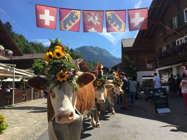 Cows parading through a village street as part of a village fete.