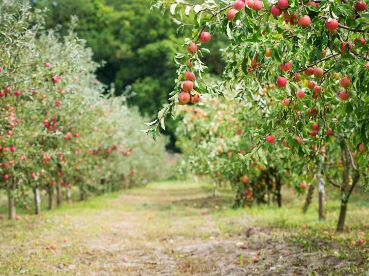 Jonamac Orchard
