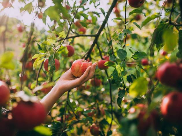 How to go apple picking near Chicago