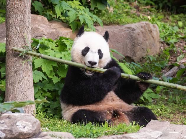 Giant Panda Bei Bei, National Zoological Park, Washington DC