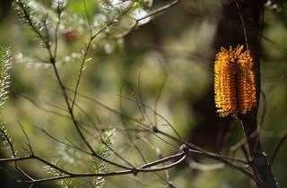 Native flowers at Ku-ring-gai Wildflower Garden