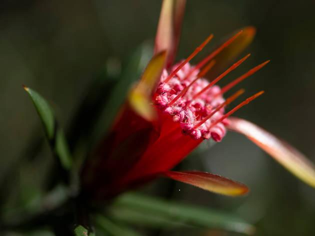 A rare bloom at Ku-ring-gai Wildflower Garden